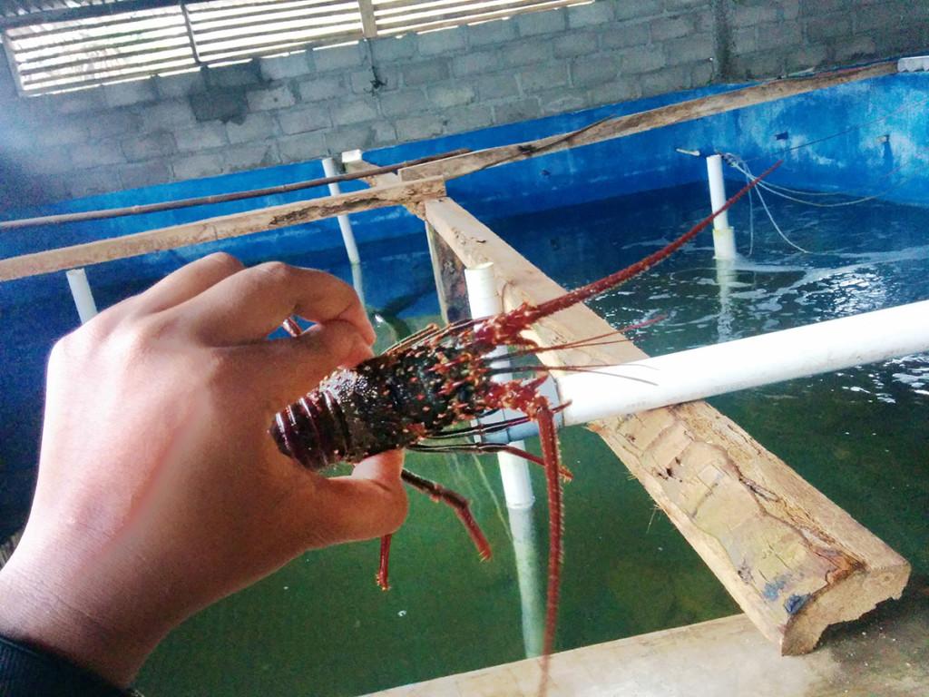 lobster hidup di pantai sepanjang