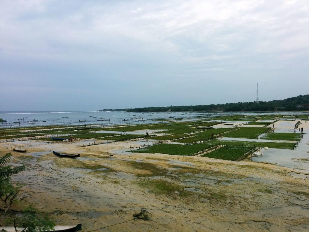 pantai rumput laut nusa ceningan