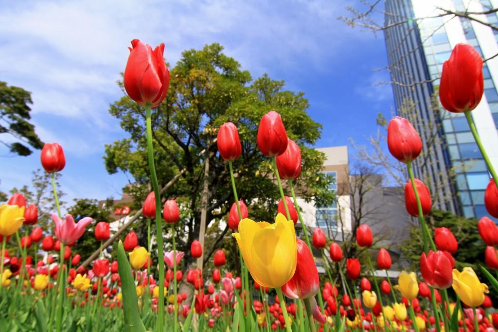 Ini namanya Bunga tulip kan ya ? :p