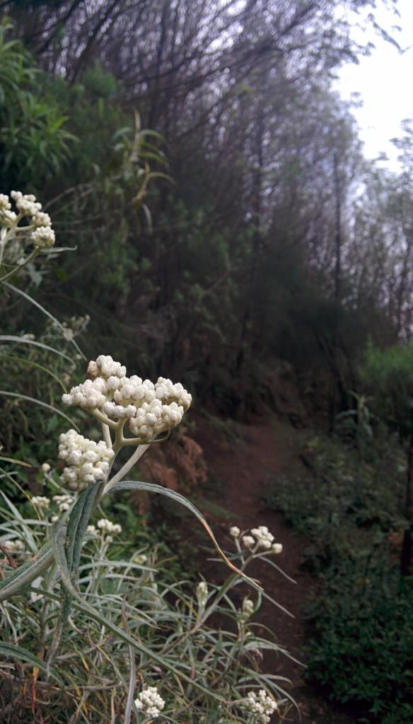 Edelweiss di tepi jalan