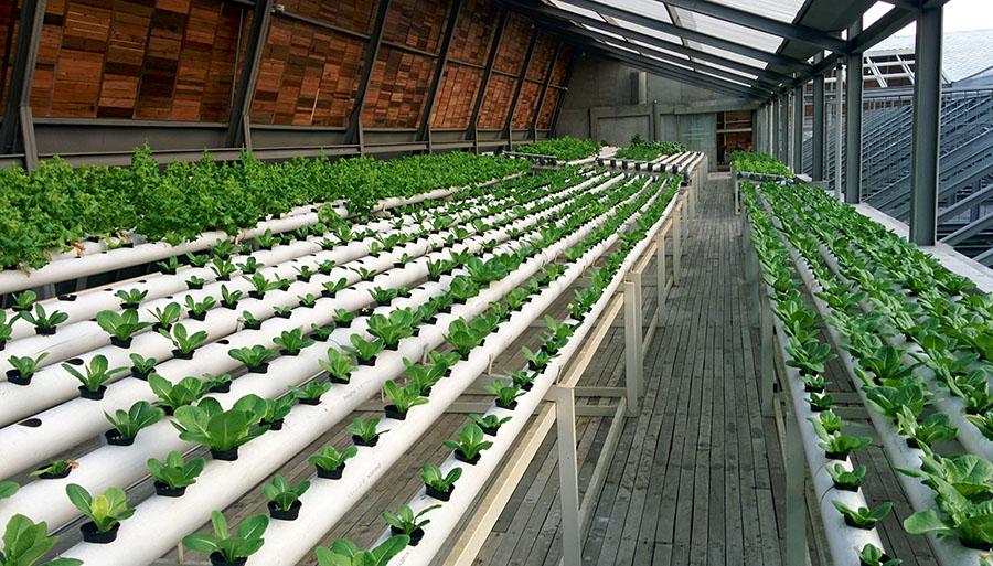 Ladang selada di rooftop hotel